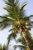 Coconut plam tree Royalty Free Stock Photography