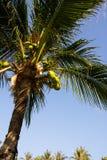 Coconut plam tree Stock Photo