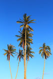 Coconut plam tree. On blue sky background Royalty Free Stock Photos