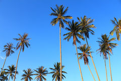 Coconut plam tree. On blue sky background Royalty Free Stock Photography