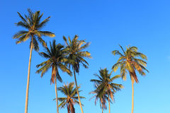 Coconut plam tree. On blue sky background Stock Images