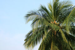 Coconut plam tree on sky. Detail of Coconut plam tree on sky Stock Photography