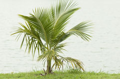 Coconut plant Stock Images