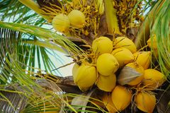 Coconut plant with golden coconut Royalty Free Stock Images