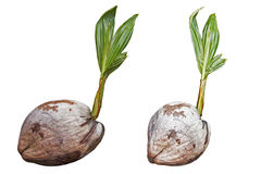Coconut plant growing Stock Images