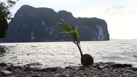Coconut with plant lay on stone  beach stock video footage