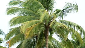 Coconut Plant Slow Motion Royalty Free Stock Photo