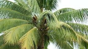 Coconut Plant Zoom Out stock video footage