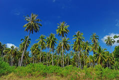 Coconut plantation Stock Photography