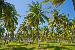 Coconut  plantation Royalty Free Stock Photos