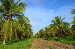 Coconut plantation Stock Photo