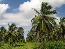 Coconut Plantation Royalty Free Stock Images