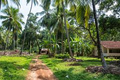 Coconut plantation in Asia. Beautiful landscape of coconut plantation in tropical country Stock Photo