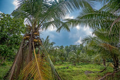 Coconut plantation in Asia Stock Photography