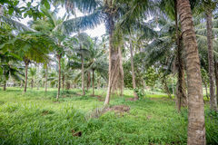 Coconut plantation in Asia Royalty Free Stock Photography