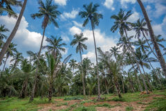 Coconut plantation in Asia Stock Photo
