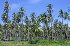 Coconut plantation with blue sky Stock Image