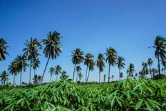 Coconut plantation and cassava farm Stock Image