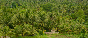 Coconut plantation in Mekong Delta Royalty Free Stock Images