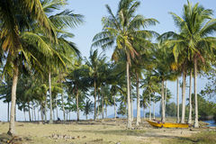 Coconut plantation Royalty Free Stock Image