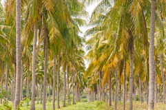 Coconut plantation. In Thailand Stock Photos