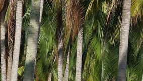 Coconut Plantation stock footage