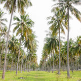 Coconut plantation Royalty Free Stock Photography