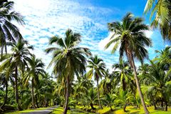 Coconut plantations Royalty Free Stock Images