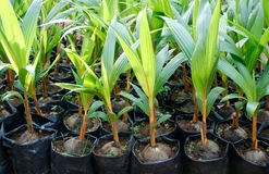 Coconut Plants. Group of young coconut plants growing in an agricultural farm Stock Photography