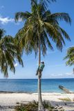 Coconut picker in palm tree. Coconut plucker climbing up palm tree to pick up the coconuts Royalty Free Stock Photography