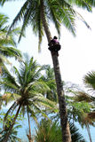Coconut Plucking Royalty Free Stock Photography