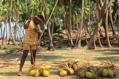 Coconut Plucking Stock Photo