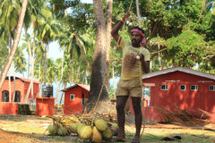 Coconut Plucking Royalty Free Stock Photo