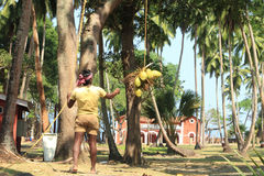 Coconut Plucking Royalty Free Stock Images