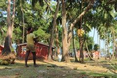 Coconut Plucking Royalty Free Stock Photos
