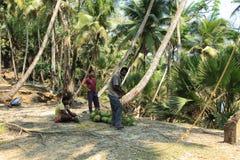 Coconut Plucking Stock Image