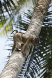 Coconut plucking monkey. Southern Pig-Tailed Macaque / Old World Monkey used to pluck coconuts royalty free stock photography