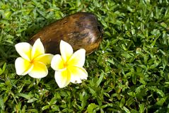Coconut and plumeria flowers Stock Image
