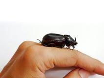 Coconut rhinoceros beetle Royalty Free Stock Image