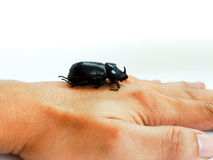 Coconut rhinoceros beetle Royalty Free Stock Images