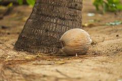 Coconut on the sandy beach Stock Photos
