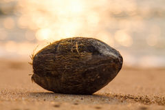 Coconut on sandy beach. With sunset on background Royalty Free Stock Images