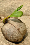 Coconut Seed Sprouts new Life Royalty Free Stock Photos