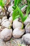 Coconut seeding Royalty Free Stock Image