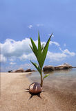 Coconut Seedling Royalty Free Stock Image