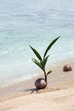Coconut Seedling Stock Images