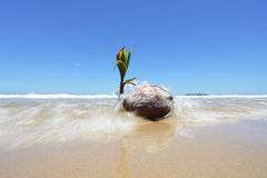 Coconut Seedling On The Shore Stock Photo