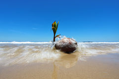 Coconut Seedling On The Shore Royalty Free Stock Image