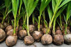 Coconut seedlings Stock Image