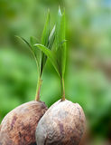 Coconut seedlings Stock Photography